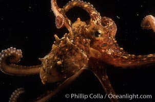 Octopus. Catalina Island, California, USA, Octopus, natural history stock photograph, photo id 07021