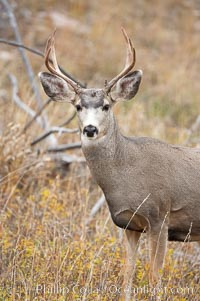 Image 19578, Mule deer in tall grass, fall, autumn. Yellowstone National Park, Wyoming, USA, Odocoileus hemionus