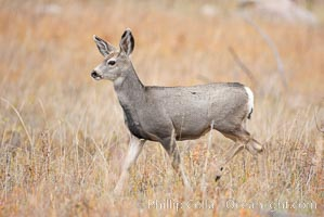 Mule deer in tall grass, fall, autumn, Odocoileus hemionus, Yellowstone National Park, Wyoming