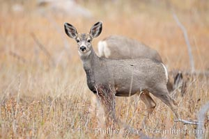 Mule deer in tall grass, fall, autumn. Yellowstone National Park, Wyoming, USA, Odocoileus hemionus, natural history stock photograph, photo id 19587