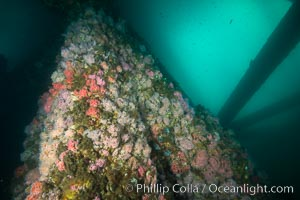 Oil Rig Eureka, Underwater Structure and invertebrate Life. Long Beach, California, USA, Corynactis californica, natural history stock photograph, photo id 31077