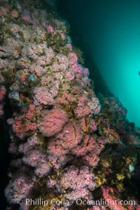 Oil Rig Eureka, Underwater Structure and invertebrate Life, Corynactis californica, Long Beach, California