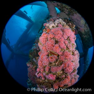 Oil Rig Eureka, Underwater Structure and invertebrate Life. Long Beach, California, USA, Corynactis californica, natural history stock photograph, photo id 34672