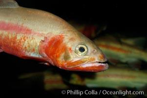 Golden trout., Oncorhynchus aguabonita, natural history stock photograph, photo id 09415
