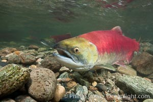 Sockeye salmon, migrating upstream in the Adams River to return to the spot where they were hatched four years earlier, where they will spawn, lay eggs and die. Adams River, Roderick Haig-Brown Provincial Park, British Columbia, Canada, Oncorhynchus nerka, natural history stock photograph, photo id 26394