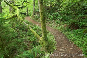 Hiking trails through a temperature rainforest in the lush green Columbia River Gorge, Columbia River Gorge National Scenic Area, Oregon