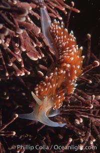 Nudibranch on calcareous coralline algae, Hermissenda crassicornis, Monterey, California