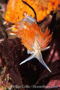 Aeolid nudibranch., Hermissenda crassicornis, natural history stock photograph, photo id 09027