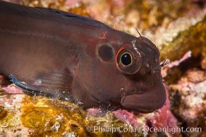 Ophioblennius steindachneri. Panamic Fanged Blenny, Sea of Cortez. Isla Espiritu Santo, Baja California, Mexico, natural history stock photograph, photo id 33787
