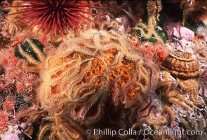 Brittle stars covering sponge and rocky reef. Santa Barbara Island, California, USA, Ophiothrix spiculata, natural history stock photograph, photo id 04715