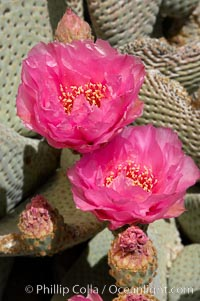 Beavertail cactus blooms in spring, Opuntia basilaris, Joshua Tree National Park, California