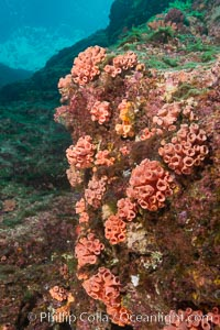 Orange cup coral, retracted during daylight, Sea of Cortez, Tubastrea coccinea, Isla Las Animas, Baja California, Mexico