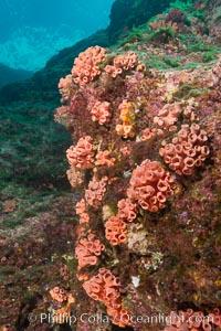 Orange cup coral, retracted during daylight, Sea of Cortez. Isla Las Animas, Baja California, Mexico, Tubastrea coccinea, natural history stock photograph, photo id 33673