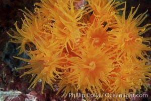 Orange cup coral, Tubastrea coccinea, Isla Champion