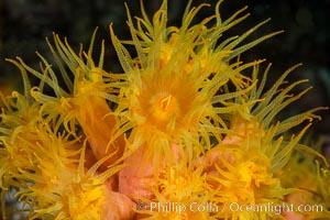 Orange Cup Coral, Tubastrea coccinea, Sea of Cortez, Mexico, Tubastrea coccinea, Isla Cayo, Baja California