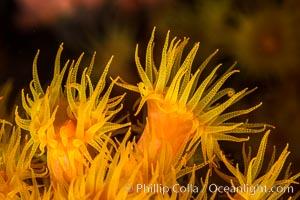Orange Cup Coral, Tubastrea coccinea, Sea of Cortez, Mexico, Tubastrea coccinea, Isla Espiritu Santo, Baja California