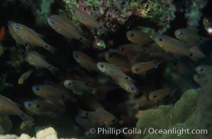 Orange-lined cardinalfish, schooling under reef shelf. Egyptian Red Sea, Archamia fucata, natural history stock photograph, photo id 05230