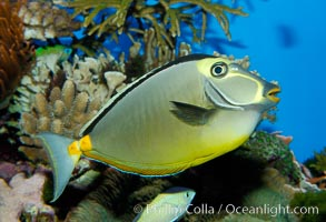 Orangespine unicornfish., Naso lituratus, natural history stock photograph, photo id 10297