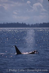 Killer whale (orca). Frederick Sound, Alaska, USA, Orcinus orca, natural history stock photograph, photo id 04403