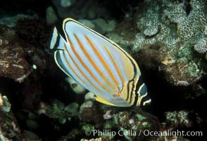 Ornate butterflyfish. Maui, Hawaii, USA, Chaetodon ornatissimus, natural history stock photograph, photo id 05194