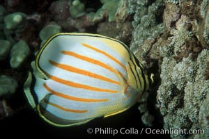 Ornate butterflyfish foraging on coral reef, Chaetodon ornatissimus, Maui