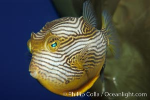 Ornate cowfish, male coloration., Aracana ornata, natural history stock photograph, photo id 09252
