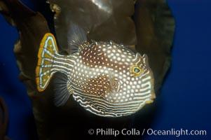 Ornate cowfish, female coloration., Aracana ornata, natural history stock photograph, photo id 09253
