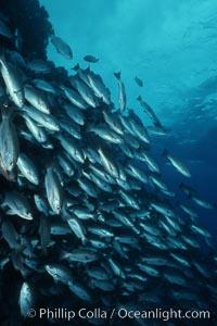 Grunts (peruvian, gray or Galapagos). Galapagos Islands, Ecuador, Orthopristis, natural history stock photograph, photo id 05175