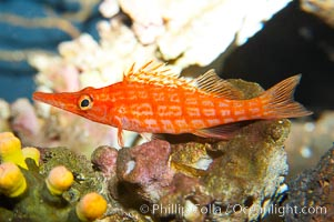 Image 13684, Longnose hawkfish., Oxycirrhites typus, Phillip Colla, all rights reserved worldwide. Keywords: animal, creature, fish, hawkfish, indo-pacific, longnose hawkfish, longsnout hawkfish, marine, marine fish, nature, ocean, oxycirrhites typus, sea, teleost fish, underwater, wildlife.