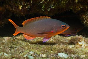Pacific creolefish, Sea of Cortez, Baja California, Mexico, Paranthias colonus