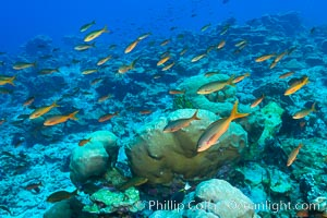 Pacific creolefish over coral reef, Clipperton Island