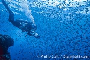 Pacific creolefish, Paranthias colonus, Cousins