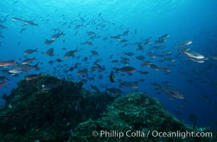 Pacific creolefish. Cousins, Galapagos Islands, Ecuador, Paranthias colonus, natural history stock photograph, photo id 07055
