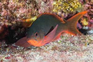 Pacific creolefish, Paranthias colonus, Sea of Cortez, Isla San Diego, Baja California, Mexico