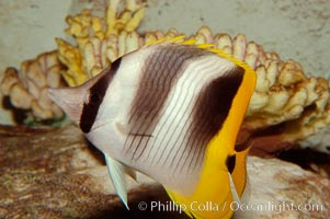 Pacific double-saddle butterflyfish., Chaetodon ulietensis, natural history stock photograph, photo id 09479