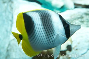 Pacific double-saddle butterflyfish., Chaetodon ulietensis, natural history stock photograph, photo id 11815
