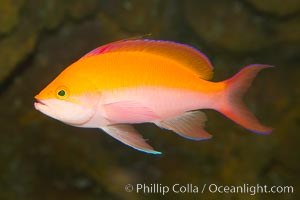 Pacific flame anthias, Pseudanthias dispar