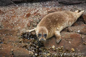 A Pacific harbor seal hauled out on the rocky shore of North Coronado Island, Baja California, Mexico (near San Diego), Phoca vitulina richardsi, Coronado Islands (Islas Coronado)
