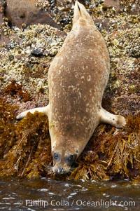 A Pacific harbor seal prepares to enter the ocean from the kelp-covered rocky shore of North Coronado Island, Baja California, Mexico (near San Diego), Phoca vitulina richardsi, Coronado Islands (Islas Coronado)