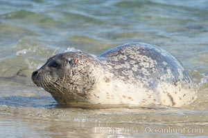 Pacific harbor seal, wounds about neck and face, Childrens Pool, Phoca vitulina richardsi, La Jolla, California