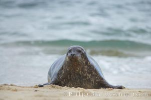 Pacific harbor seal. La Jolla, California, USA, Phoca vitulina richardsi, natural history stock photograph, photo id 20243