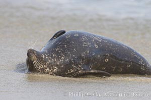 Pacific harbor seal. La Jolla, California, USA, Phoca vitulina richardsi, natural history stock photograph, photo id 20246