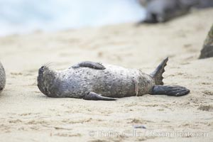 Pacific harbor seal, newborn pup with umbilical cord, Phoca vitulina richardsi, La Jolla, California