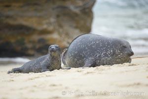 Pacific harbor seal, mother and pup, Phoca vitulina richardsi, La Jolla, California