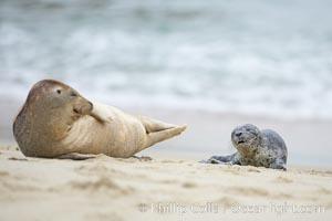 Pacific harbor seal. La Jolla, California, USA, Phoca vitulina richardsi, natural history stock photograph, photo id 20452