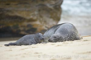 Pacific harbor seal, mother nuzzles her tiny pup, Phoca vitulina richardsi, La Jolla, California