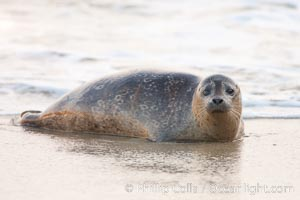 Pacific harbor seal, an sand at the edge of the sea. La Jolla, California, USA, Phoca vitulina richardsi, natural history stock photograph, photo id 26318