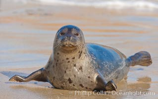 Pacific harbor seal, an sand at the edge of the sea. La Jolla, California, USA, Phoca vitulina richardsi, natural history stock photograph, photo id 26330