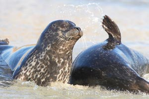 Pacific harbor seals on sandy beach at the edge of the ocean. La Jolla, California, USA, Phoca vitulina richardsi, natural history stock photograph, photo id 20213