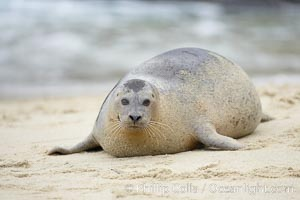 Pacific harbor seal. La Jolla, California, USA, Phoca vitulina richardsi, natural history stock photograph, photo id 20444